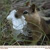 Golden-Mantled Ground Squirrel A28939