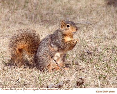 EasternFoxSquirrel40614
