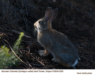 MountainCottontail3308