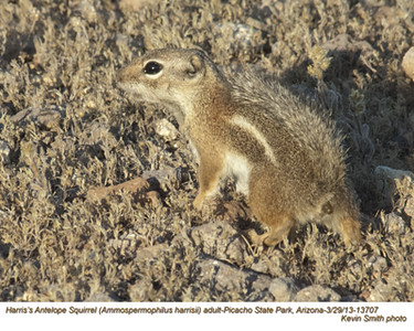 Harris'sAntelopeSquirrel13707