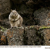 California Ground Squirrel A69681
