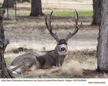 Mule Deer M80564
