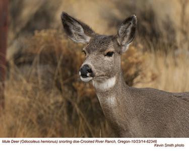 Mule Deer Doe 62346