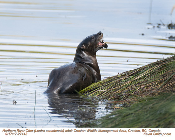 Northern River Otter A27413