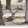 Mule Deer M80558