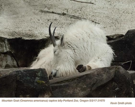 Mountain Goat CM31670