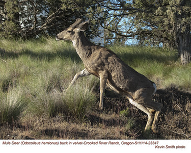 Mule Deer M23347