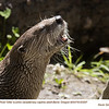 Northern River Otter A83297c