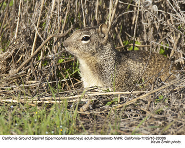 California Ground Squirrel A28086
