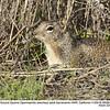 California Ground Squirrel A28086