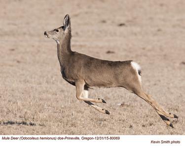 Mule Deer Doe 80069