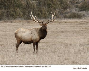 Elk M65062c