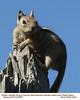Golden-Mantled Ground Squirrel A20567