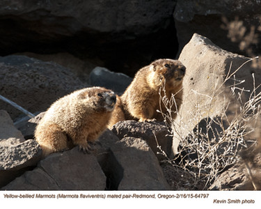 Yellow-bellied Marmots P64797