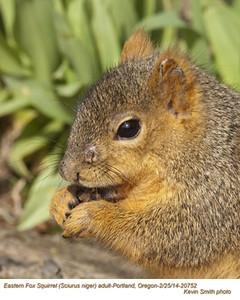 EasternFox SquirrelA20752