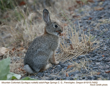 Mountain Cottontail A74952