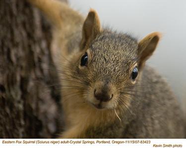 EasternFoxSquirrel83423