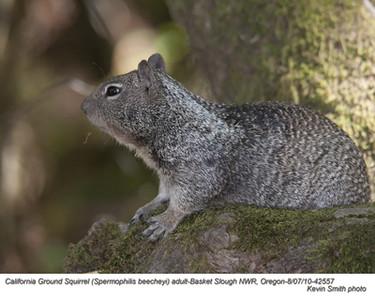 CaliforniaGround SquirrelA42557