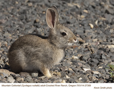 Mountain Cottontail A27389