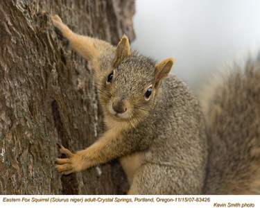 EasternFoxSquirrel83426