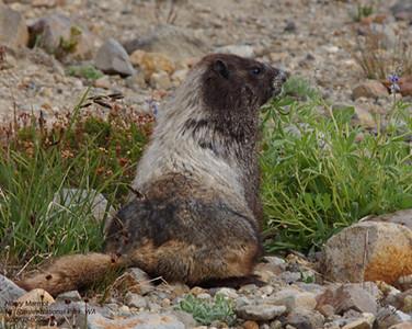 Hoary Marmot 8056