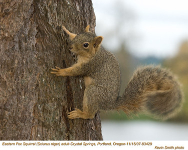 EasternFoxSquirrel83429