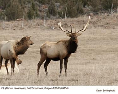 Elk M65054c
