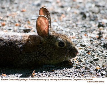 EasternCottontail1800