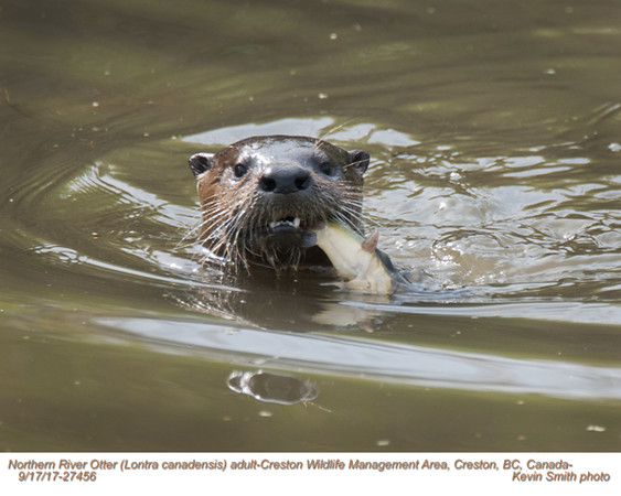 Northern River Otter A27456