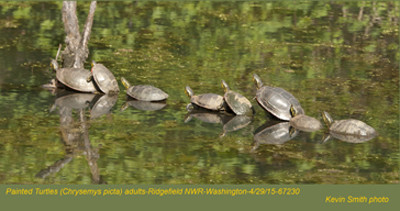 Painted Turtles A67230