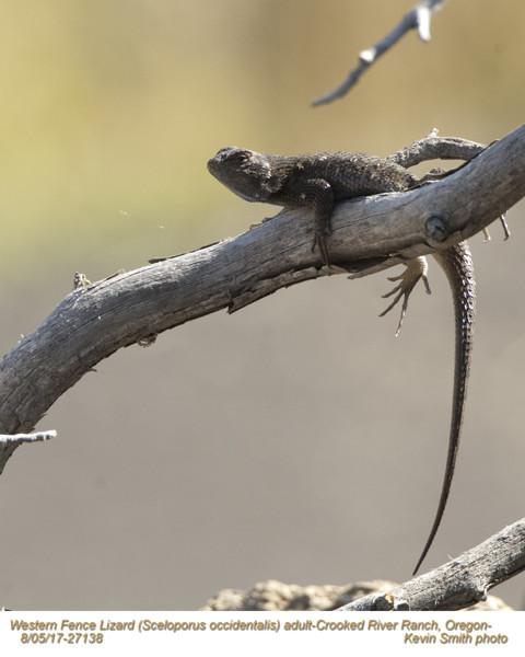 Western Fence Lizard A27138