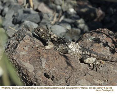 Western Fence Lizard A29488