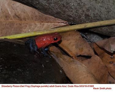 Strawberry Poison-Dart Frog A81665