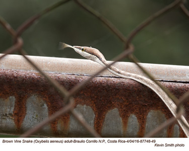 Brown Vine Snake A87748-49