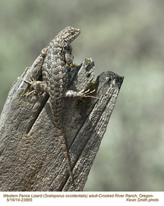Western Fence Lizard A23885