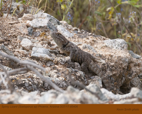 Spiny Lizard 85406