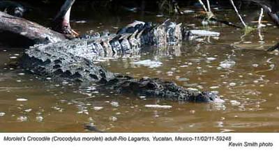 Morolet'sCrocodileA59248