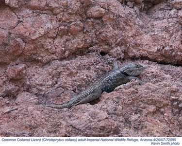 CommonCollaredLizard72585