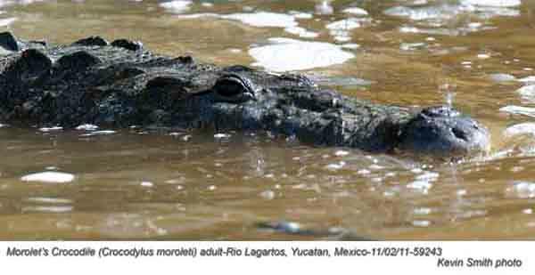 Morolet'sCrocodileA59243