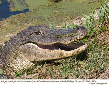 AlligatorA10154