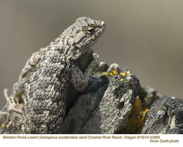 Western Fence Lizard A23894