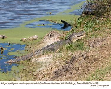 AlligatorA10152