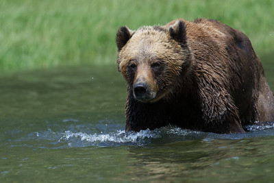 Male bear wading