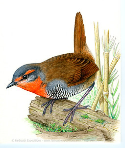 Chucao Tapaculo (Scelorchilus rubecula)