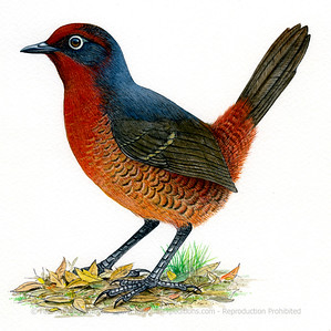 Chestnut-throated Huet-huet (Pteroptochos castaneus)