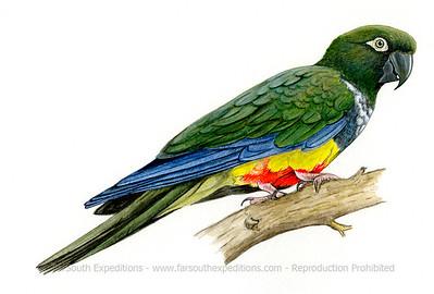 Burrowing Parrot (Cyanoliseus patagonus)