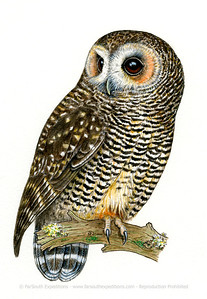 Rufous-legged Owl (Strix rufipes)