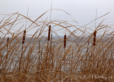 Cattails in their fall colours resisting the harsh winter winds. Ottawa River.