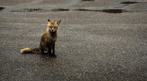 Soaking wet fox in Dryden, Ontario