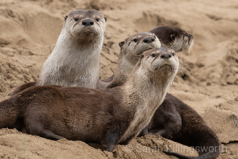 otter with three pups